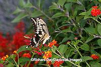 03017-008.02 Giant Swallowtail (Papilio cresphontes) on Red Spread Lantana (Lantana camara) Marion Co.  IL