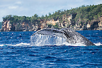 Vava'u, Kingdom of Tonga (Saturday August 13, 2016): A winters day with a mix overcast to sunny skies, light winds and relatively clam seas was a good day for a whale watching  trip and the opportunity to swim with them in the waters off Vava'u.  The conditions kept most of the whales on the move today with a number of breaches. <br /> <br /> Tonga is one of the few places in the world where you can swim with these magnificent creatures. The migrating whales are generally around from June to late October with a number of births happening in the Tongan waters. Photo: joliphotos