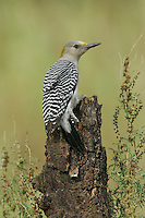 Golden-fronted Woodpecker - Melanerpes aurifrons - female