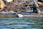 Elephant Seals & Fur Seals