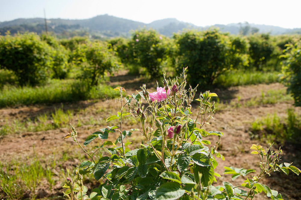 'Rose de Mai' for use in the perfume industry are grown on the plain below the town of Grasse, Pegomas, France, 4 May 2013