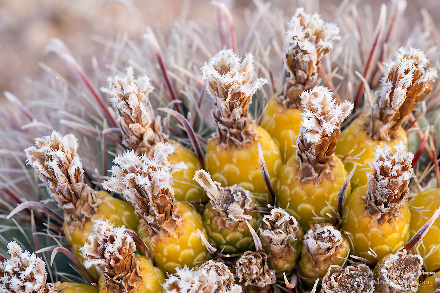 Tucson, Arizona; fruit of a barrel cactus with early morning frost