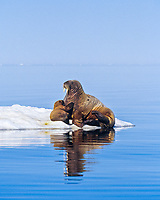 Atlantic walrus, Odobenus rosmarus rosmarus, one of three subspecies of walrus, Odobenus rosmarus, mother and pup, hauling out, basking on ice, near Igloolik, northern Baffin Island, Nunavut, Canada, Foxe Basin, Atlantic Ocean, Arctic Ocean