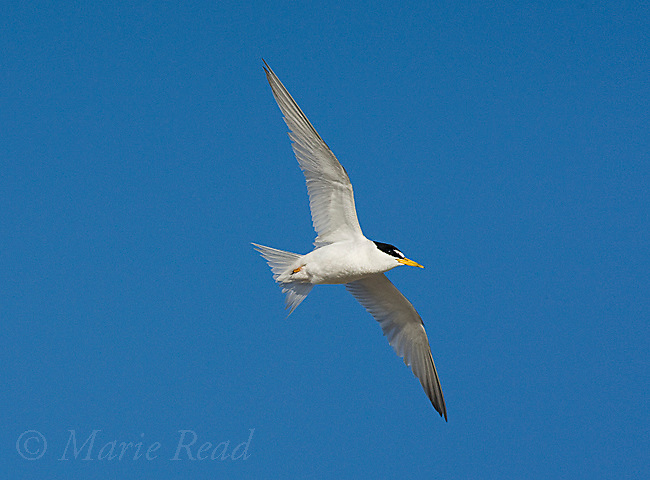Least Tern (Sterna antillarum), endangered California race, adult in flight, Huntington Beach, California, USA