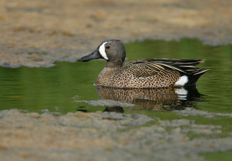 Blue-winged Teal Anas discors - Male. Length 37-40cm. A small distinctive North American duck. Adult male has a bluish head with a striking and diagnostic white crescent. The body is buffish-brown, marbled with darker spots, and a white patch can be seen on the otherwise black stern. Adult female and juvenile are mainly marbled brown and are similar to their Teal counterparts. However, the plumage is greyer; note the pale spot at the base of the bill and the absence of a pale patch at the side of the base of the tail (seen in Teal). In flight, all the birds reveal an extensive and diagnostic blue panel across much of the upper surface of the inner wing. Ten or so individulas might be recorded in a good year, mainly in autumn and winter. Blue-winged Teals favour freshwater wetlands and occur in similar habitats to those frequented by migrant Garganeys in spring and summer.