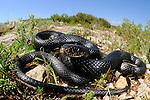 Melanistic Whip Snake (Hierophis viridiflavus), Sicily, Italy
