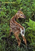 MA11-019z   White-tailed Deer - fawn - Odocoileus virginianus