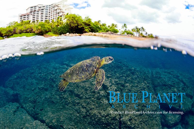 Split image of resort and Green sea turtle, Chelonia mydas, Ko'olina, Oahu, Hawaii, North Pacific Ocean