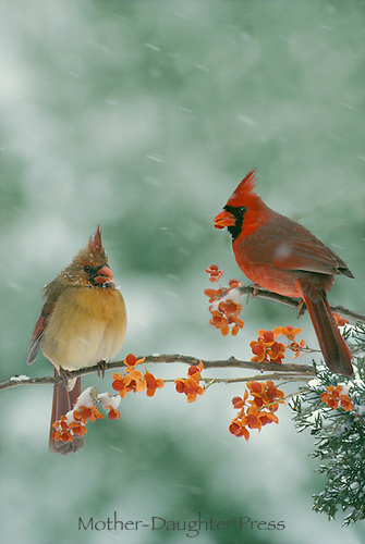 Male & Female Northeren Cardinals (Cardinalis)  on Icy branch with  holly berries in snow storm   Missouri USA