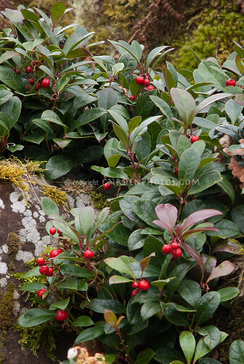 Gaultheria procumbens in red berry, Winterberry groundcover