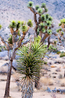 United States, California, Joshua Tree National Park. Hall of Horrors. Joshua trees.