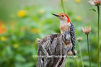 01196-03410 Red-bellied Woodpecker (Melanerpes carolinus) male in flower garden, Marion County, IL