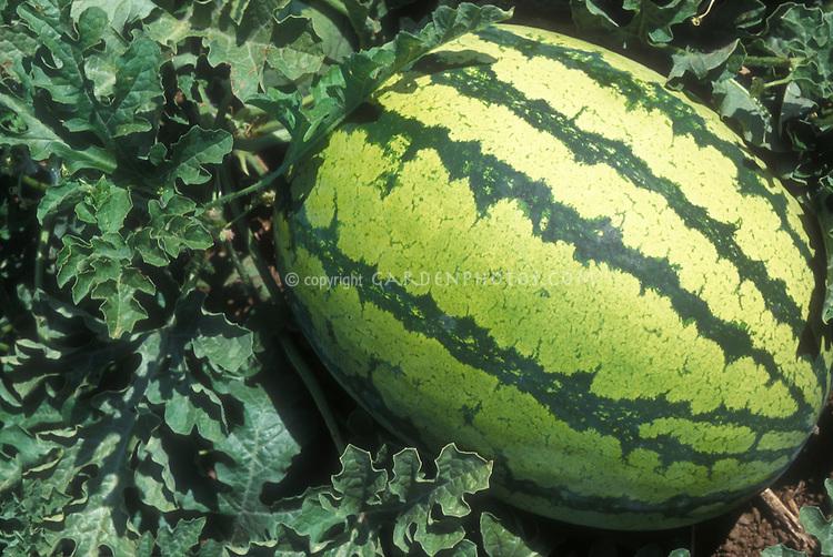 Watermelon Family Fun vegetable growing in garden, dwarf variety miniature