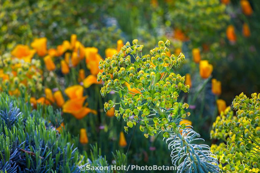 Euphorbia characias subsp. wulfenii Mediterranean spurge; McAvoy Garden - California summer-dry garden; Design - Ground Studio