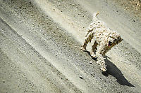 13th March 2020, Guanajuato, Mexico; WRC Rally of Mexico;   A loose dog on the rally roads