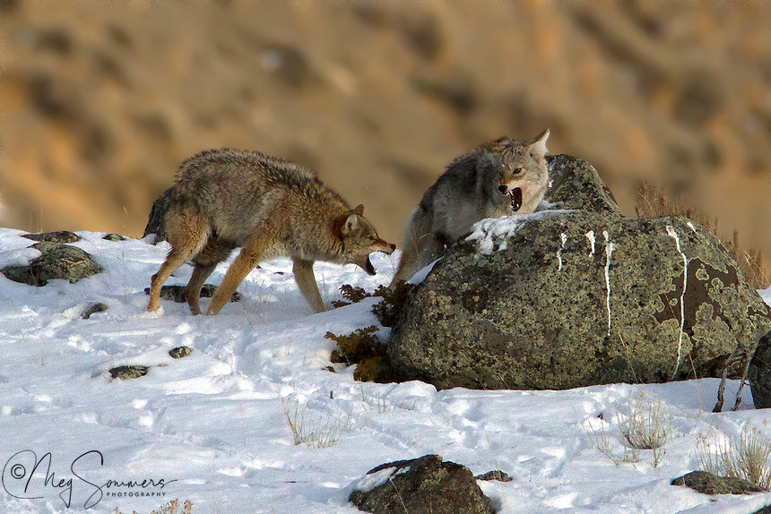 """Coyote (Canis latrans) mating season is between late January and late March, The """"courtship"""" is not always what we would want in our dating experience, but it works for them! Once the female chooses a partner, the mated pair may remain temporarily monogamous for a number of years."""