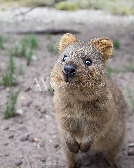 "Quokkas were one of my main goals on this trip.  They are almost exclusively found on Rottnest Island outside of Perth, and are called by some ""the world's happiest animal"" due to their perpetual smile."