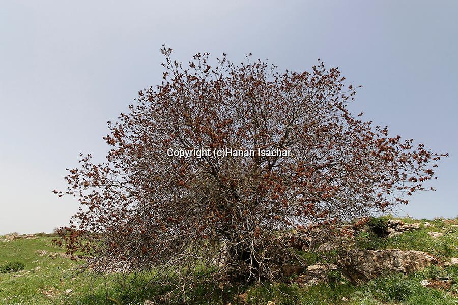 Israel, the Upper Galilee. Terebinth tree (Pistacia Palaestina) on Mount Meron