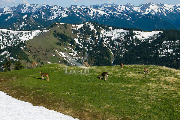 Black-tailed deer feeding along receding snowpatch in alpine meadow of Olympic National Park, Washington.  Summer.
