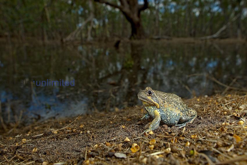 Eastern Banjo Frog (Limnodynaste dumerilii variegata), Nhill Swamp, Victoria, Australia