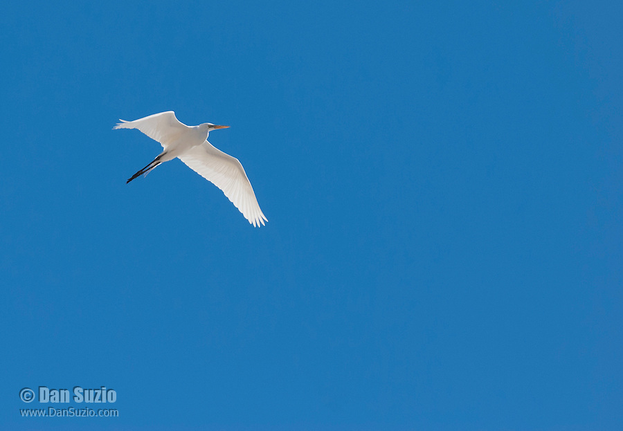 Great egret, Ardea alba, flying over Salt Lake in Saline Valley, Death Valley National Park, California