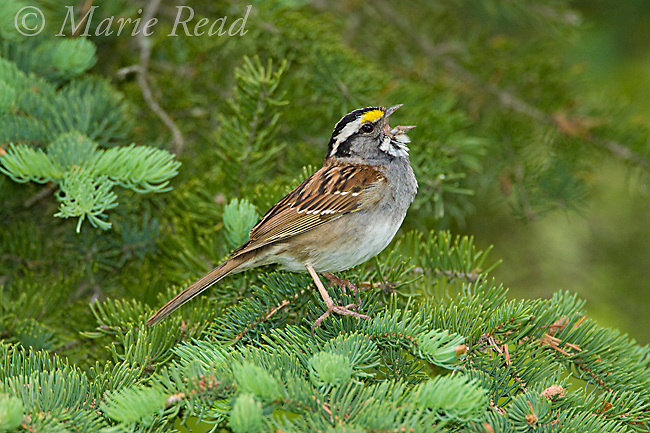 White-throated Sparrow (Zonotrichia albicollis), male perched on spruce, singing in spring, Summer Hill State Forest, Cortland County, New York, USA