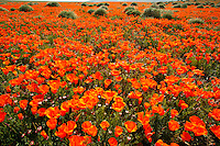 Field of California Poppies (Eschscholzia californica).  Antelope Valley California Poppy Reserve.  Mojave Desert, California...