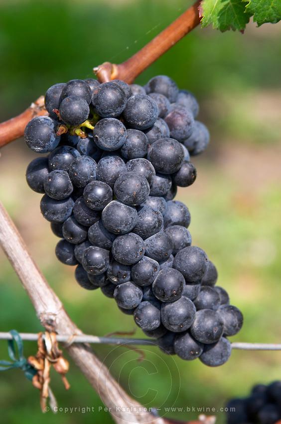 Bunches of ripe grapes. Cabernet Franc. Clos Saint Julien, Saint Emilion, Bordeaux, France