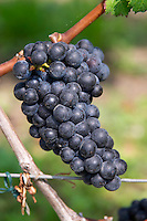 Bunches of ripe grapes. Cabernet Franc. Clos Saint Julien, Saint Emilion, Bordeaux, France