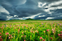 Zumwalt Prairie with mostly Prairie Smoke (Geum triflorum) wildflowers. Zumwalt Prairie Preserve, Oregon.
