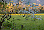 Great Smoky Mountains National Park, TN/NC: Blossoming dogwood tree frames horses grazing in Cades Cove in early morning in spring