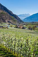 Italy, South Tyrol (Trentino - Alto Adige), Val Venosta, Castelbello-Ciardes: apple blossom   Italien, Suedtirol (Trentino - Alto Adige), Vischgau, Kastelbell-Tschars: Apfelbluete