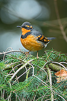 Varied Thrush, Washington