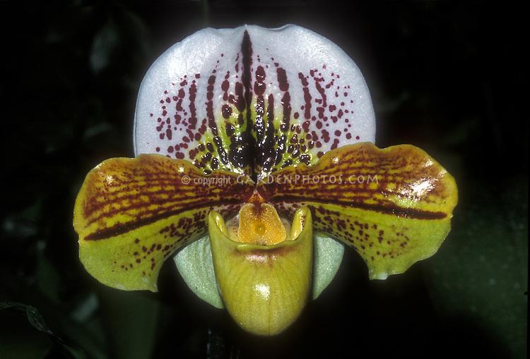 Orchid Paphiopedilum hybrid