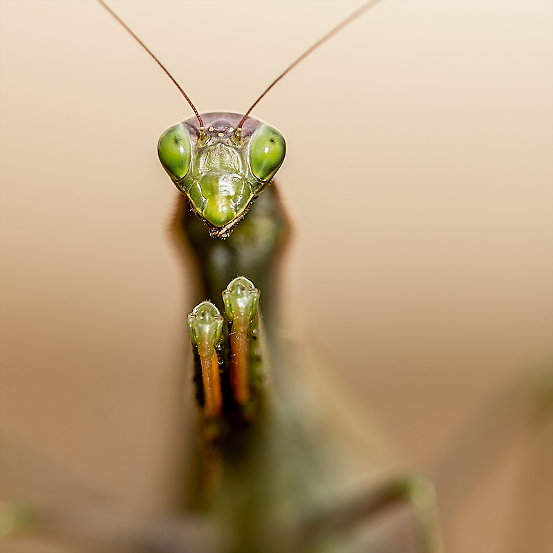 praying mantis, mante religieuse, macro