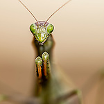 praying mantis, mante religieuse, macro
