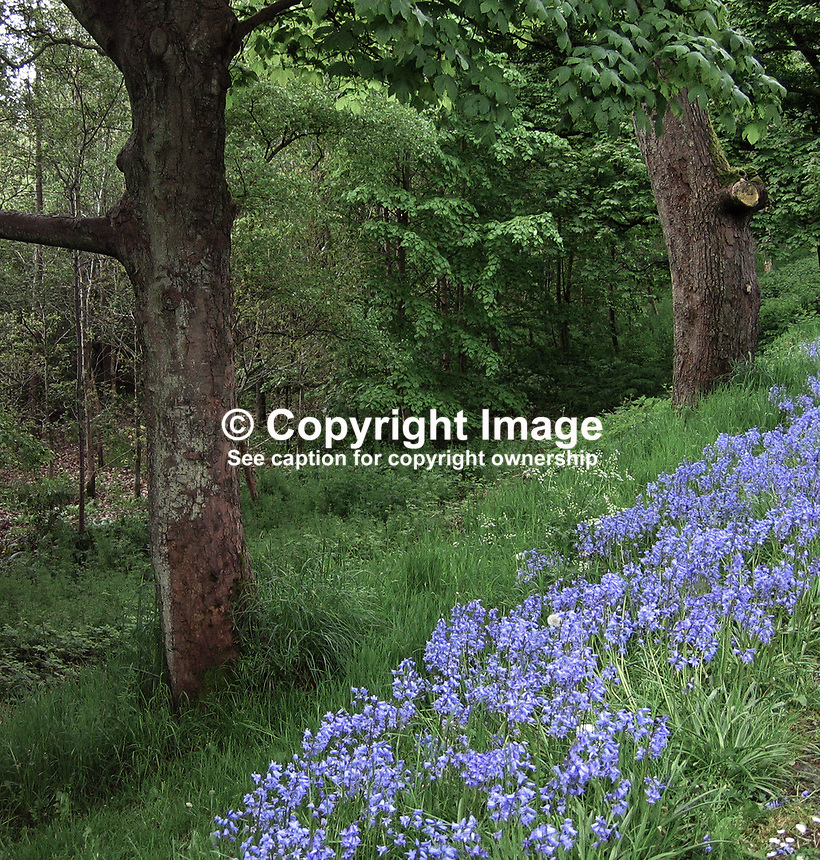 Barnett's Park, Belfast, N Ireland, UK, May 2009, spring, bluebells, trees, woodland, wild, 200905100088.<br />