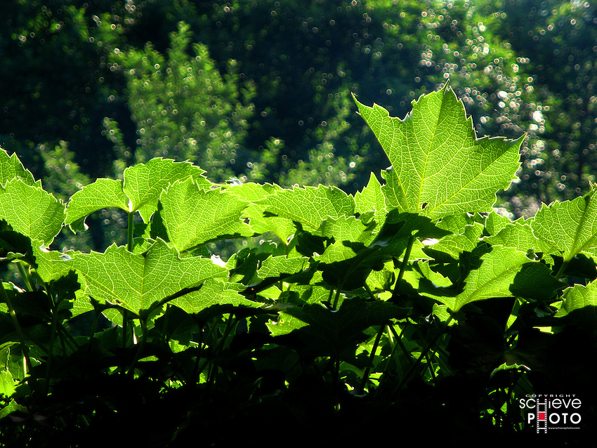 Backlit Ivy leaves.