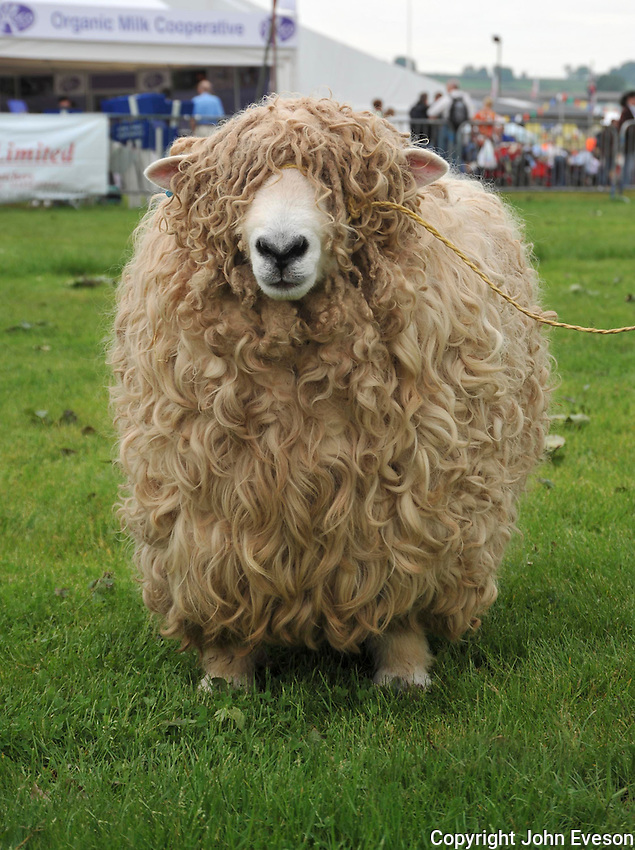 Devon and Cornwall Longwool ram at Bath and west Show...Copyright..John Eveson, Dinkling Green Farm, Whitewell, Clitheroe, Lancashire. BB7 3BN.01995 61280. 07973 482705.j.r.eveson@btinternet.com.www.johneveson.com