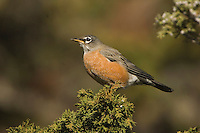 American Robin, Turdus migratorius, female on juniper tree,Yellowstone NP,Wyoming, September 2005