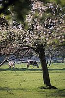 Europe/France/Normandie/Basse-Normandie/14/Calvados/Env. de Deauville/Touques: Vaches en pâturages et arbres en fleurs