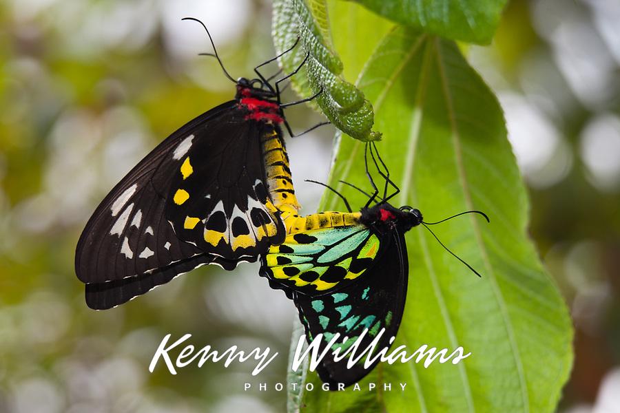Cairns Birdwing Butterflies Mating, (Ornithoptera euphorion)