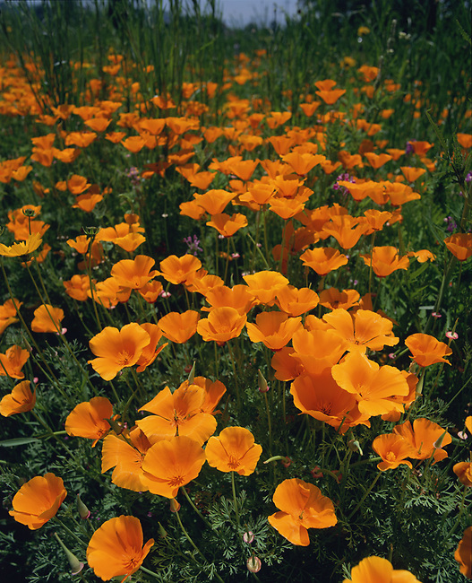 California Poppies growing wild.