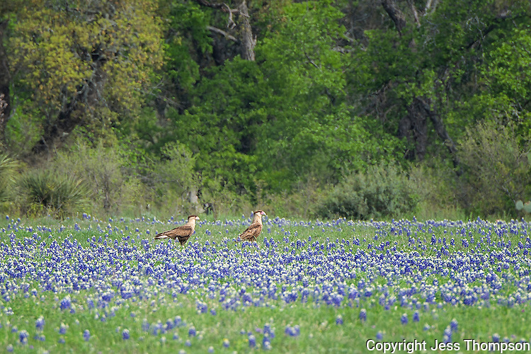 Crested Caracara in field of bluebonnets, Llano County, Texas
