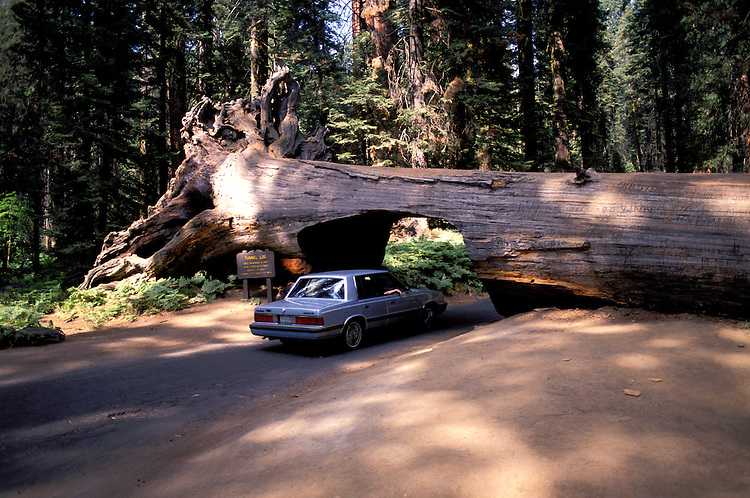 CA: Sequoia-Kings Canyon National Park, car driving through tree trunk          .Photo Copyright: Lee Foster, lee@fostertravel.com, www.fostertravel.com, (510) 549-2202.Image: catree210