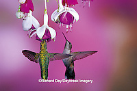 01162-069.20 Ruby-throated Hummingbirds (Archilochus colubris) females at Hybrid Fuchsia (Fuchsia)  Shelby Co.  IL