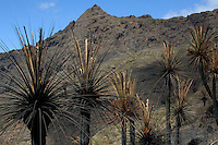 Palm trees after forest fires of July 2007, Masca, Tenerife, Canary Islands.