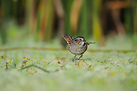 Swamp Sparrow (Melospiza georgiana), adult, Fennessey Ranch, Refugio, Corpus Christi, Coastal Bend, Texas Coast, USA