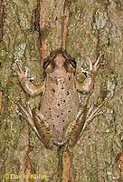 0201-0904  Cuban Treefrog (Cuban Tree Frog) on Tree, Osteopilus septentrionalis  © David Kuhn/Dwight Kuhn Photography