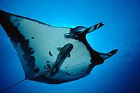 Pacific Ocean manta ray, Manta birostris, Mexico, Pacific Ocean